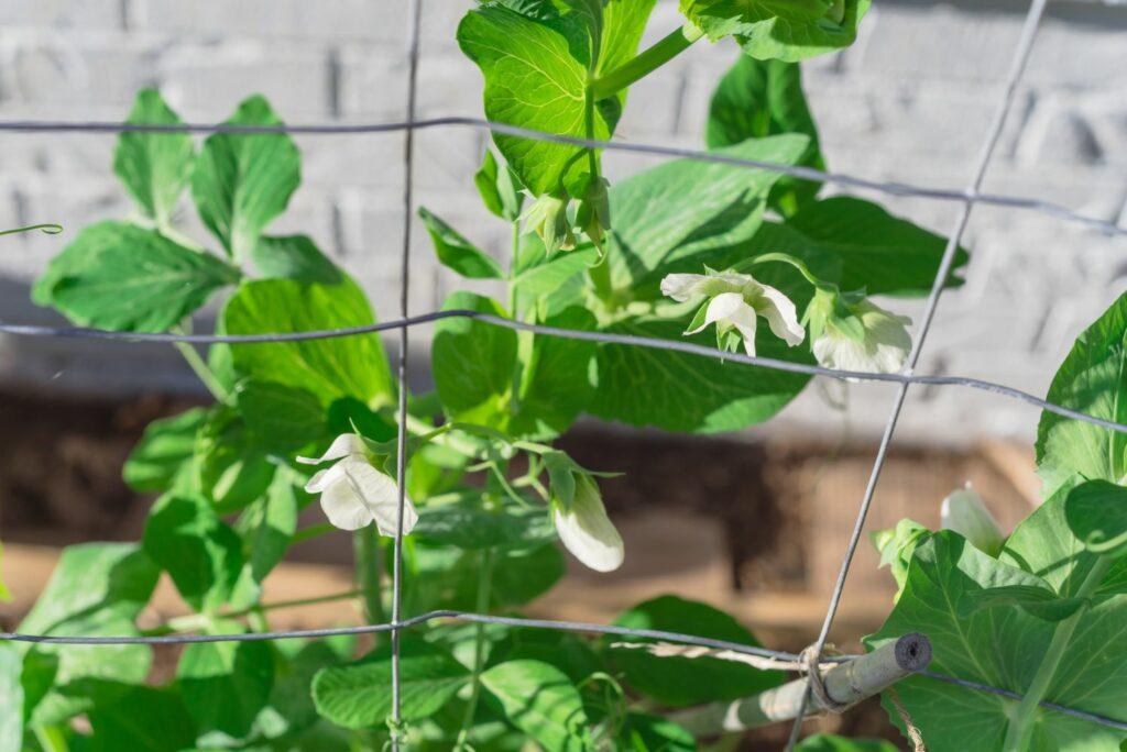 Zuckererbsen-Pflanzen mit Rankhilfe