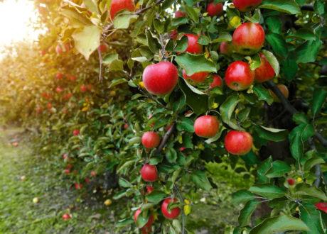 Äpfel Auf Einer Plantage