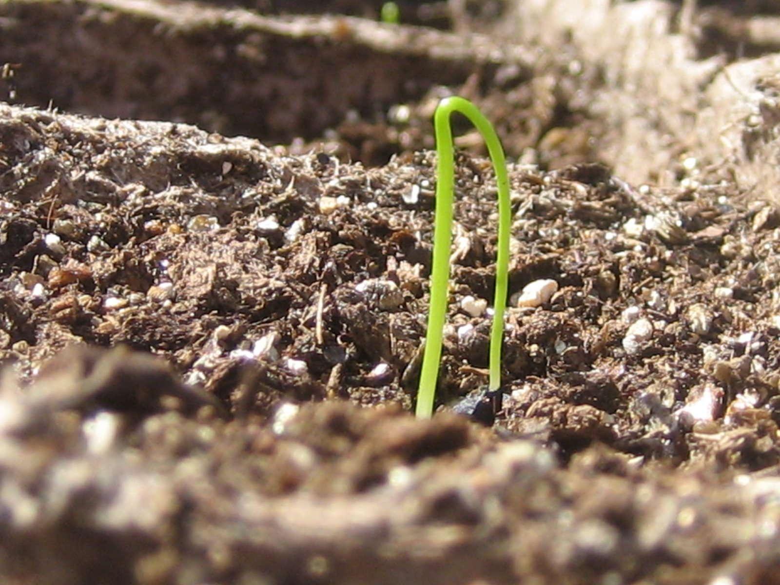 Zwiebeln Selbst Pflanzen Und Zu Hause Anbauen Plantura
