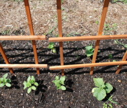 30 Gurken Im Garten