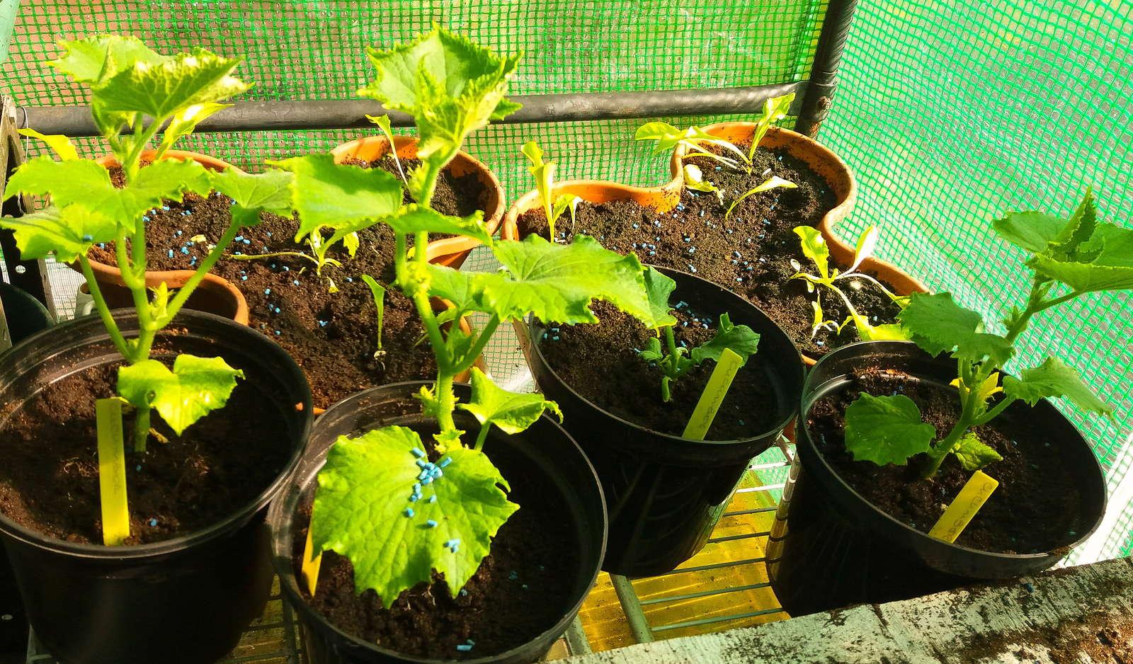 gurken anpflanzen anbauen pflegen und lagern plantura. Black Bedroom Furniture Sets. Home Design Ideas