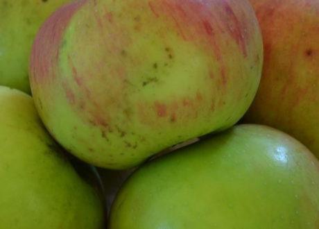 Apfel Bramleys Sämling