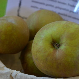 Apfel Coulons Renette (1)