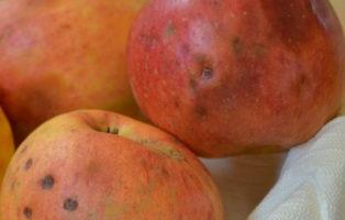 Apfel James Grieve