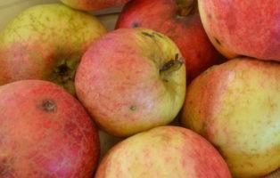 Apfel Kardinal Bea