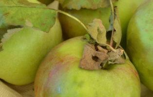 Apfel Rheinische Schafsnase