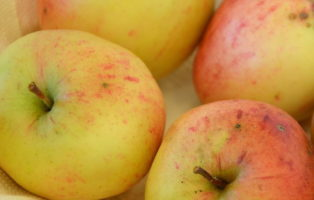 Apfel Steierische Schafsnase