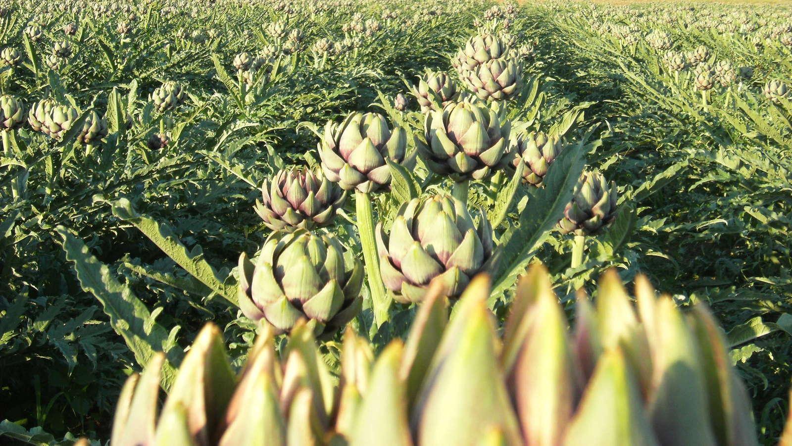 Artischocken Anbau Das Mediterrane Gemüse Im Garten Pflanzen Plantura