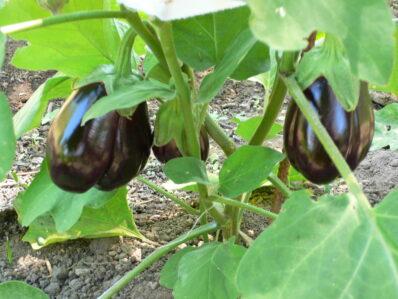Aubergine anbauen: Tipps vom Experten