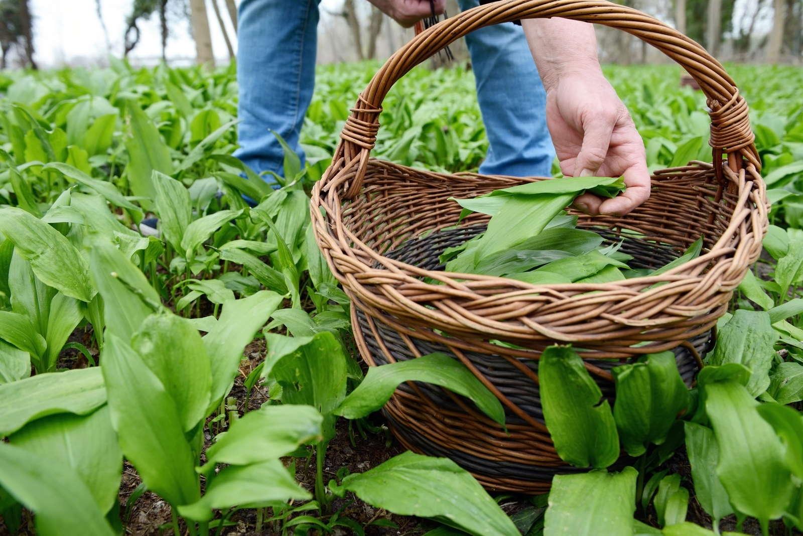 b rlauch anpflanzen den wilden knoblauch selbst pflanzen plantura. Black Bedroom Furniture Sets. Home Design Ideas
