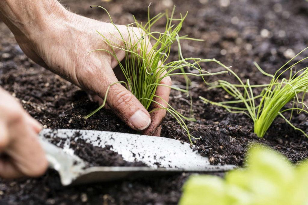 Schnittlauchpflanze einsetzen Hände mit Gartenschaufel