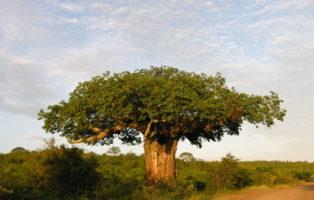Afrikanischer Baobabbaum In Der Savanne