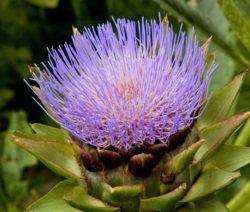 Blüte Artischocke