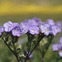 Phacelia Als Gründünger Mit Schöner Blüte