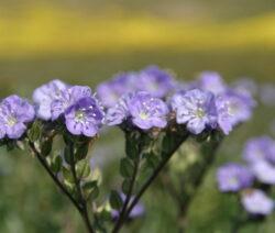 Blüte Von Bienenfreund (Phacelia) Gründüngung