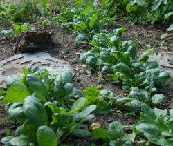 Spinat Im Garten Anbauen