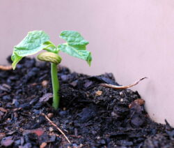bohnen pflanzen anleitung zum anbauen von bohnen plantura. Black Bedroom Furniture Sets. Home Design Ideas