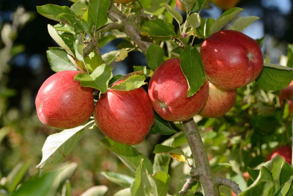 Braeburn am Baum im Garten