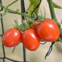 Tomatensorte De Berao Rot