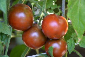 Tomatensorte De Berao Schwarz