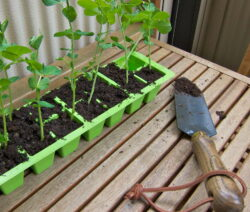 Erbsenpflanzen In Anzuchtschalen