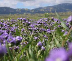 Feld mit Bienenfreund (Phacelia) gründüngung