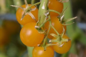 Tomate Golden Currant