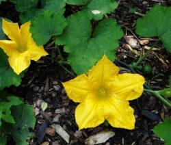 Gurke Blüte 6