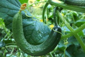 Gurke Anbauen Im Garten