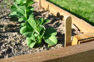 Jungpflanzen Erbse Im Beet Hochbeet