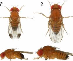 Kirschessigfliege_Drosophila Suzukii_Unterschied_Geschlechter