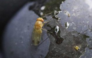 Kirschessigfliege_Drosophila Suzukii_auf Fruchtschale