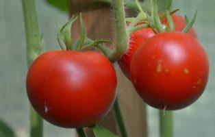 Tomate Market King