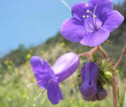 Nahaufnahme von Bienenfreund (Phacelia)