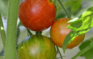Tomatensorte Neusiedler See Gestreifte Cocktailtomate