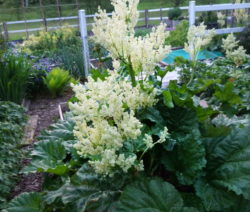 Rhabarber Blüte Pflanze Im Garten