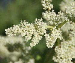 Rhabarber Blüte Weiß