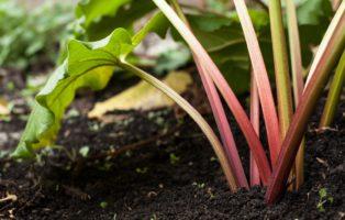 Rhabarber: Alles Zum Pflanzen, Düngen & Ernten Der Barbarenwurzel