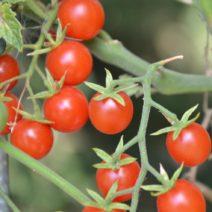 Tomatensorte Romei's Süße Murmel Kleine Rote Cocktailtomate