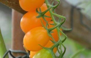 Tomatensorte Sandorio Kleine Orange Cocktailtomate