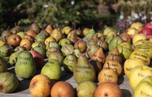 Sortenvielfalt Biodiversität Birne Verschiedene Birnen Auf Tisch