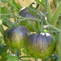 Tomatensorte Stripes Of Yore Gelb, Braun-lila Auslaufend