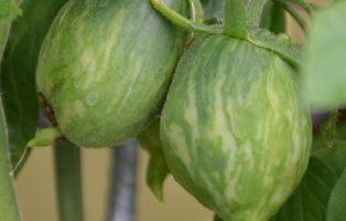 Tomatensorte Striped Roman Spitzzulaufend Grün Mit Streifen