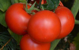 Tomate Tee Mo Or