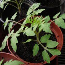 Jungpflanze Von Tomate In Topf Auf Fensterbank