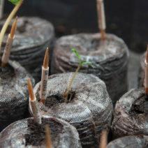Tomatensämlinge Im Topf Green Zebra