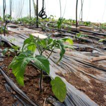Tomatenpflanzen Im Gewächshaus Mit Folie Abgedeckt
