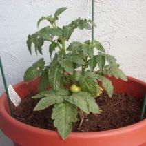 Tomaten Im Topf Anpflanzen