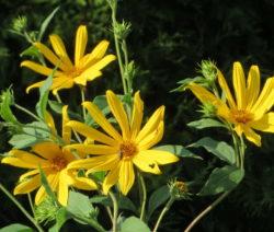 Topinambur Blüte 2
