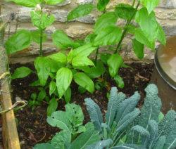 Topinambur Pflanze 2
